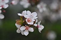 春天紫叶李花开