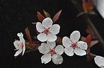 争奇斗艳四朵紫叶李花