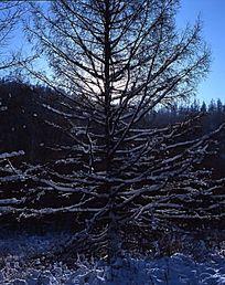 挂上冰霜的松树