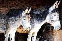 两只灰色的毛驴