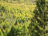 落叶松林之秋