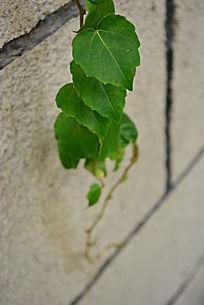 绿色爬山虎下垂植物苍白墙壁裂纹
