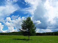 草甸上孤独的松树