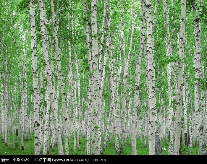 白桦林图片,高清大图_森林树林素材