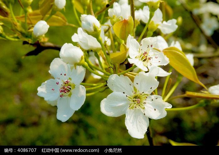 原创摄影图 动物植物 花卉花草 春天梨花绽放  请您分享: 红动网提供