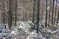 大雪覆盖的原始林