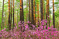 杜鹃花盛开的大森林