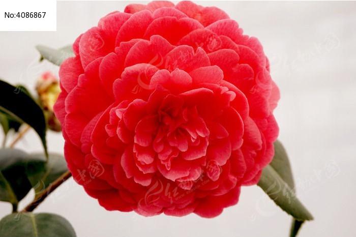 红花图片,高清大图_花卉花草素材