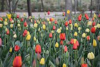 红色和黄色的郁金香花朵