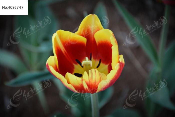 原创摄影图 动物植物 花卉花草 金边红花郁金香