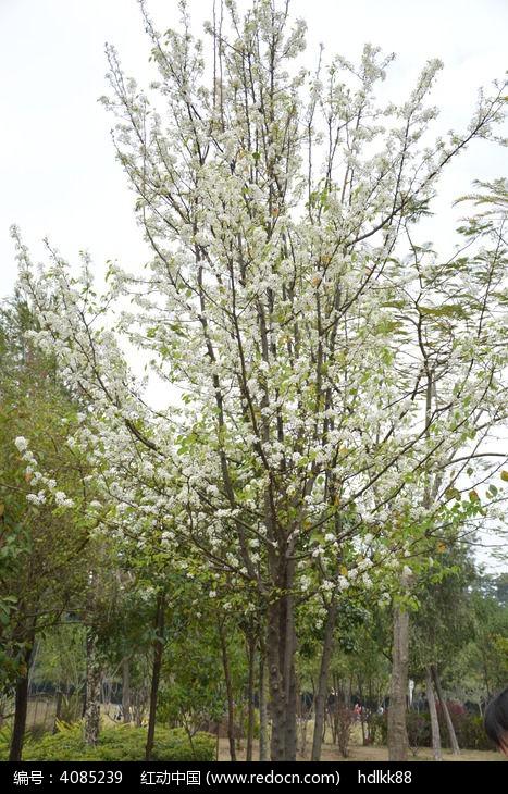 梨花树图片,高清大图_花卉花草素材