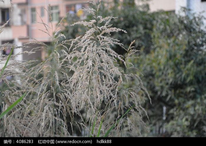原创摄影图 动物植物 树木枝叶 芦苇穗