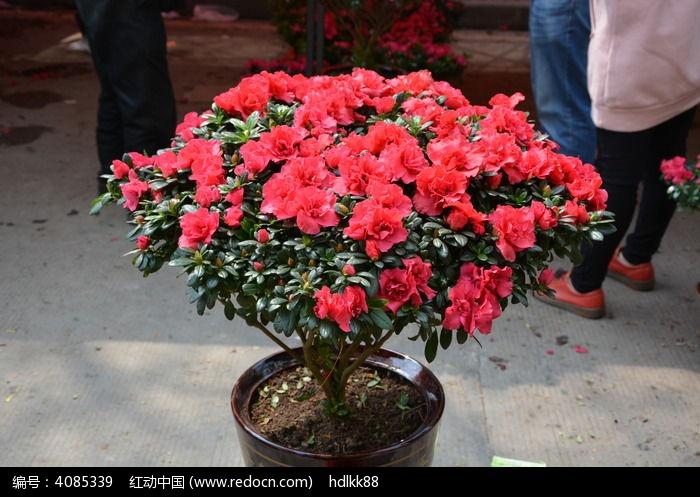 西洋杜鹃盆栽图片