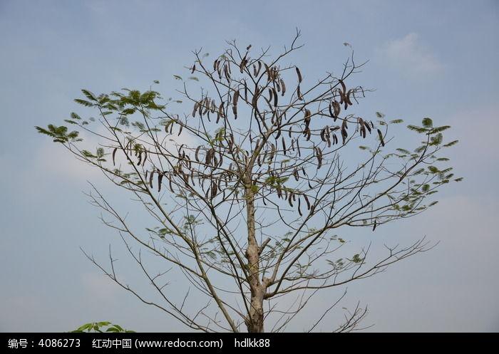 一颗皂角树图片,高清大图_树木枝叶素材