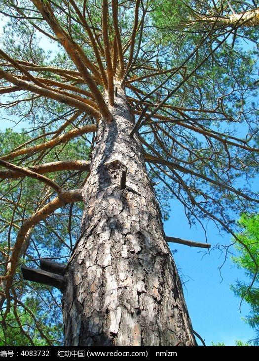 樟子松图片,高清大图_森林树林素材