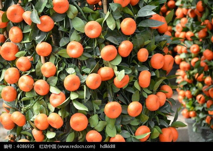 原创摄影图 动物植物 花卉花草 橘子盆栽  请您分享: 红动网提供花卉