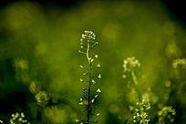 草丛中的荠菜花