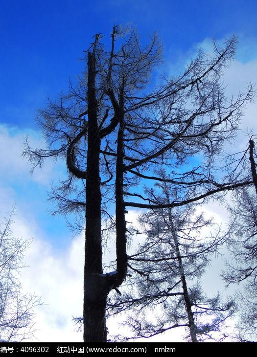大兴安岭老树图片,高清大图_森林树林素材