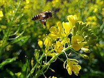 蜂蜜油菜花开