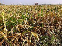 甘蔗林图片