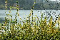 河边的迎春花