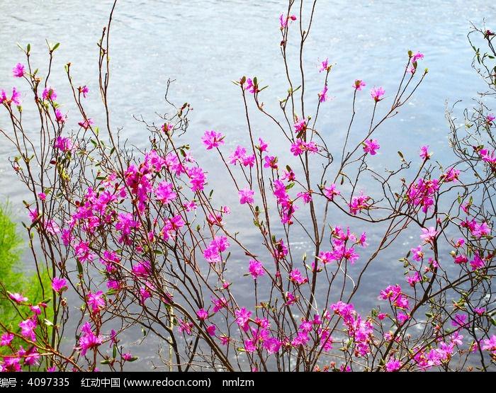 河流杜鹃花图片