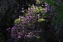 南娘河悬岩上的杜鹃花