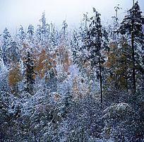 秋天落雪后的原始森林