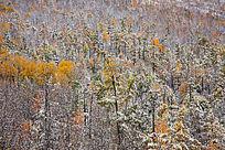 原始森林秋季降雪