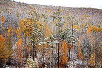 原始森林秋季雪景
