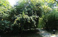 北京竹园的石榴树