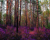 杜鹃花盛开的原始森林