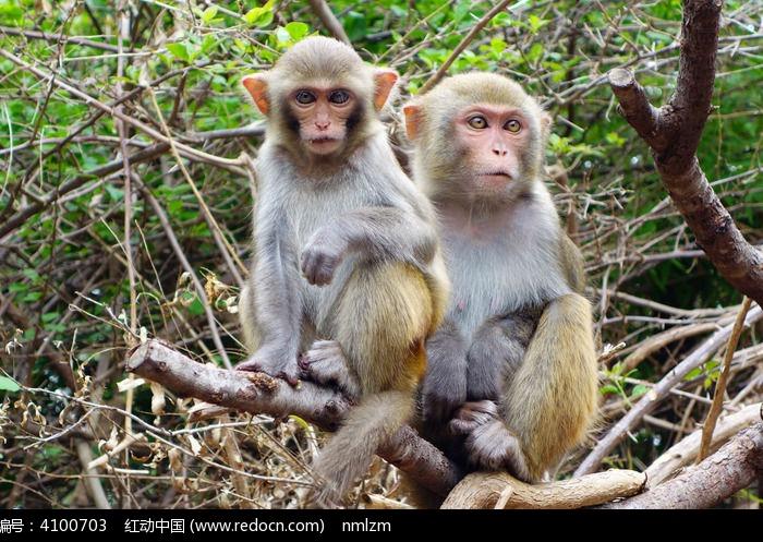 广西猴图片,高清大图_陆地动物素材