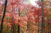 染红了的树