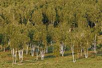 山坡上生长的白桦树
