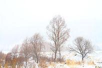 下雪时的野外红柳