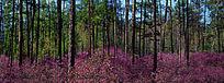 原始森林杜鹃花