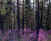 原始森林杜鹃花盛开