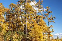 原始森林金秋无限美