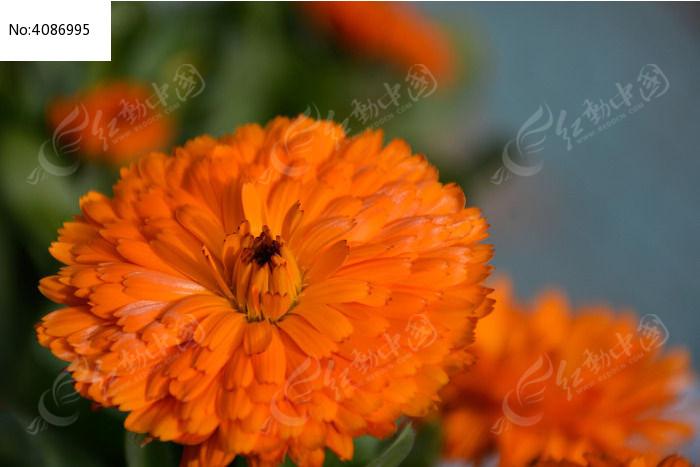 盛开单朵太阳花橘红
