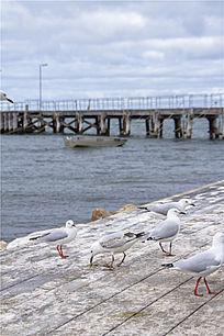 澳洲袋鼠我岛海岸边上的银鸥