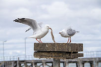 捕食中的银鸥