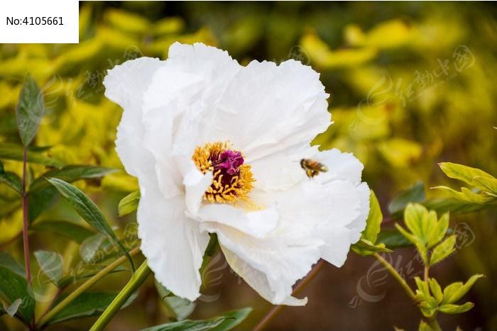 原创摄影图 动物植物 花卉花草 采蜜的小蜜蜂白牡丹  请您分享: 红动