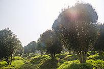 晨雾桂花林