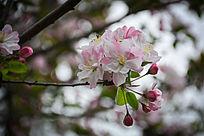 垂丝海棠春天