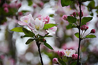 垂丝海棠花枝春天