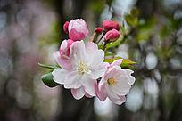 春天垂丝海棠