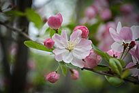 春天的海棠