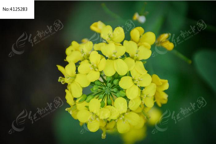 原创摄影图 动物植物 花卉花草 春天多朵油菜花