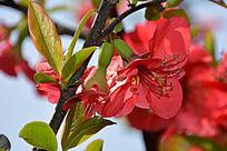 大朵红海棠